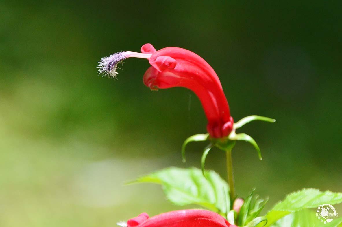 Fleur Martinique