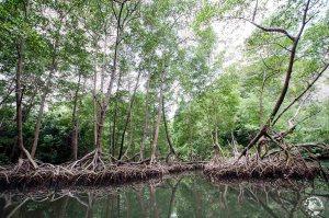 Los Haitises - mangrove