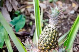 Ananas République Dominicaine