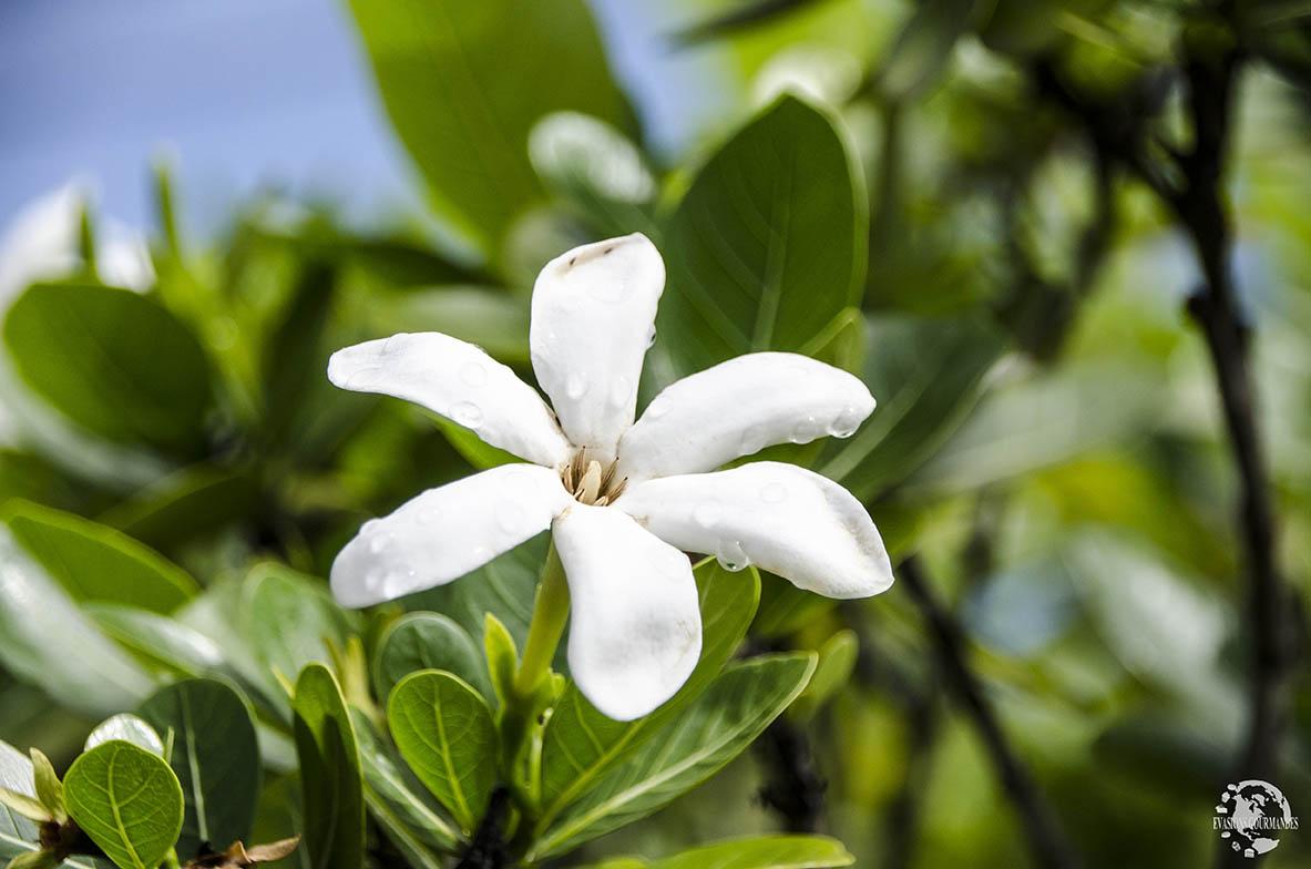 Fleur Tiaré