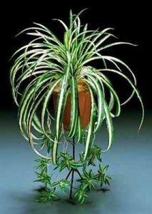 Kurdele çiçeğichlorophytum Evde Usta Var