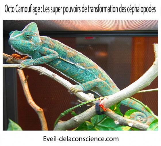 4_Octo Camouflage – les super-pouvoirs de transformation des céphalopodes