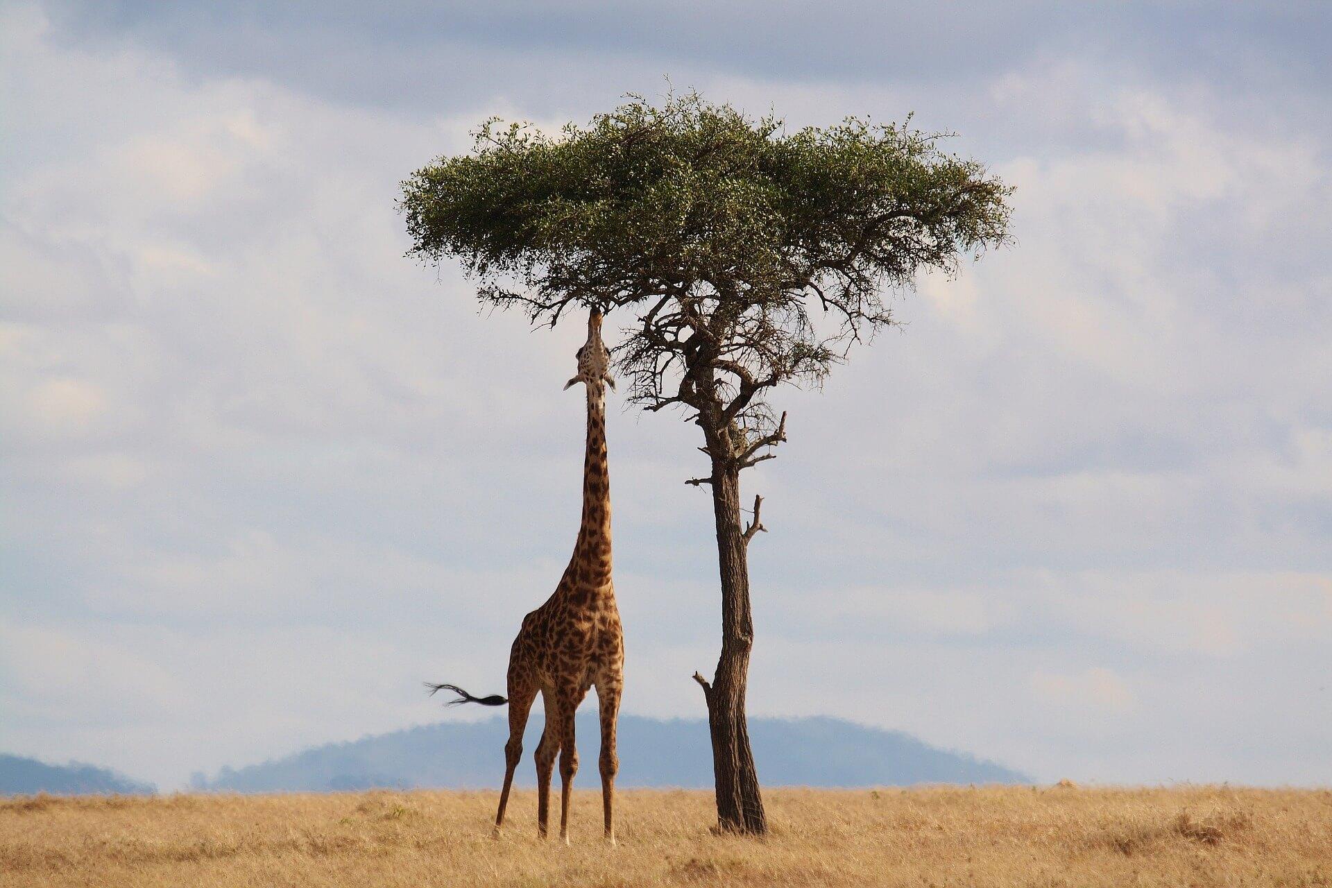 giraffe matkaunelmaa