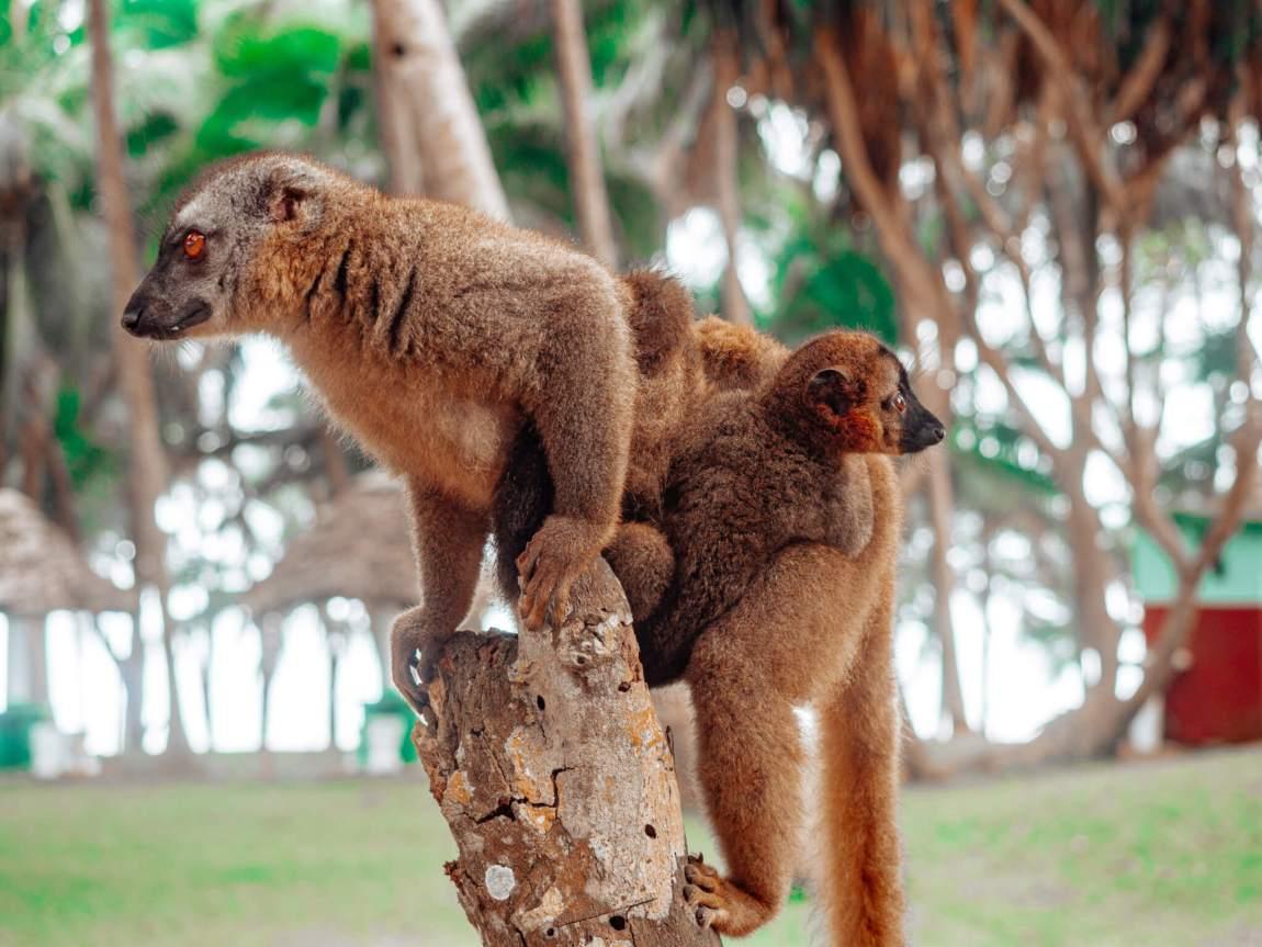 lemurit