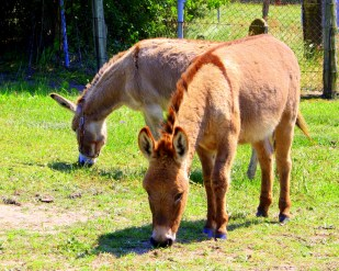 Two Brown Burros