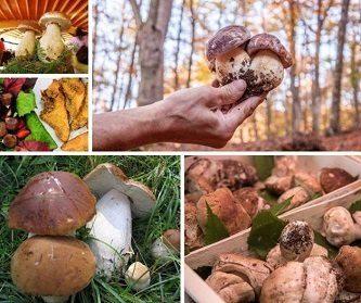 il-fungo-porcino-sull-appennino-parmense 333x279