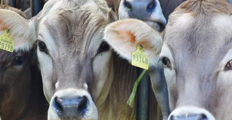 Fiere del bestiame Valsesia 2019 autunno