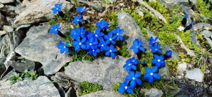 fiori di montagna Passo dei Salati