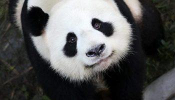 Chinesisches,Pandas,Tiere,Freizeit,Unterhaltung