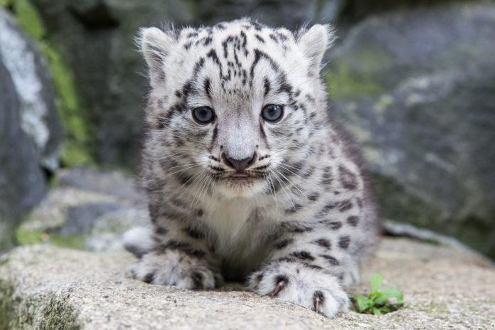 #Schneeleopard,Tiere,Berlin,Tierpark