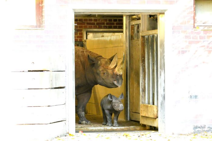 Nashorn,Spitzmaulnashorn,Berlin,Zoo,Tiere,Spitzmaulnashörner,#VisitBerlin