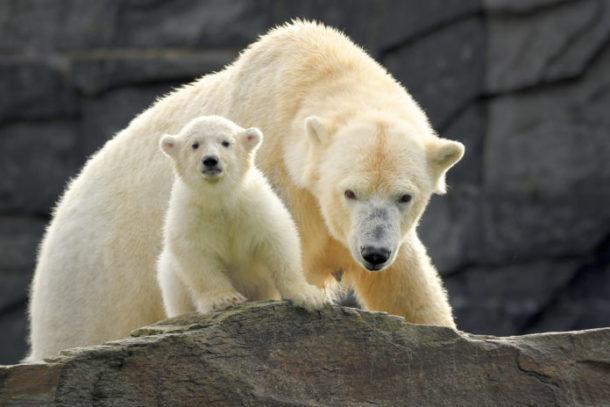 Eisbär,Berlin,Tierpark Berlin