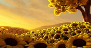 sun flower wallpapers hd image