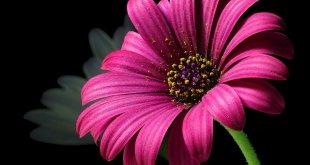 Daisy pollen flower Wallpapers