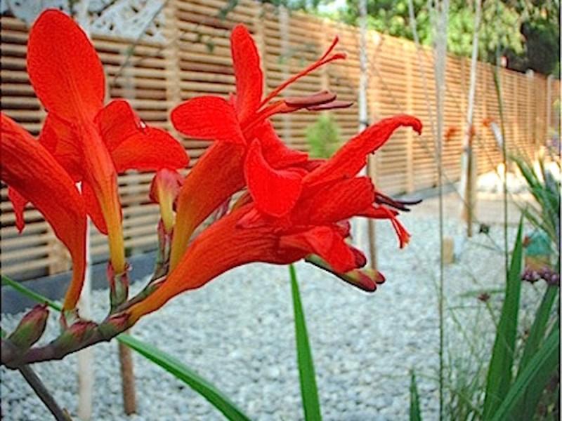 Everchanging Garden Design Hertfordshire Primrose Hill Crocosmia