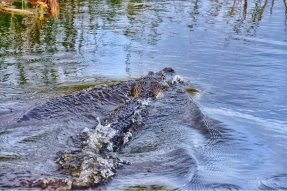 American Alligator on our tours.