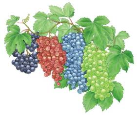 Grapes-Bunches-Illustration jpg
