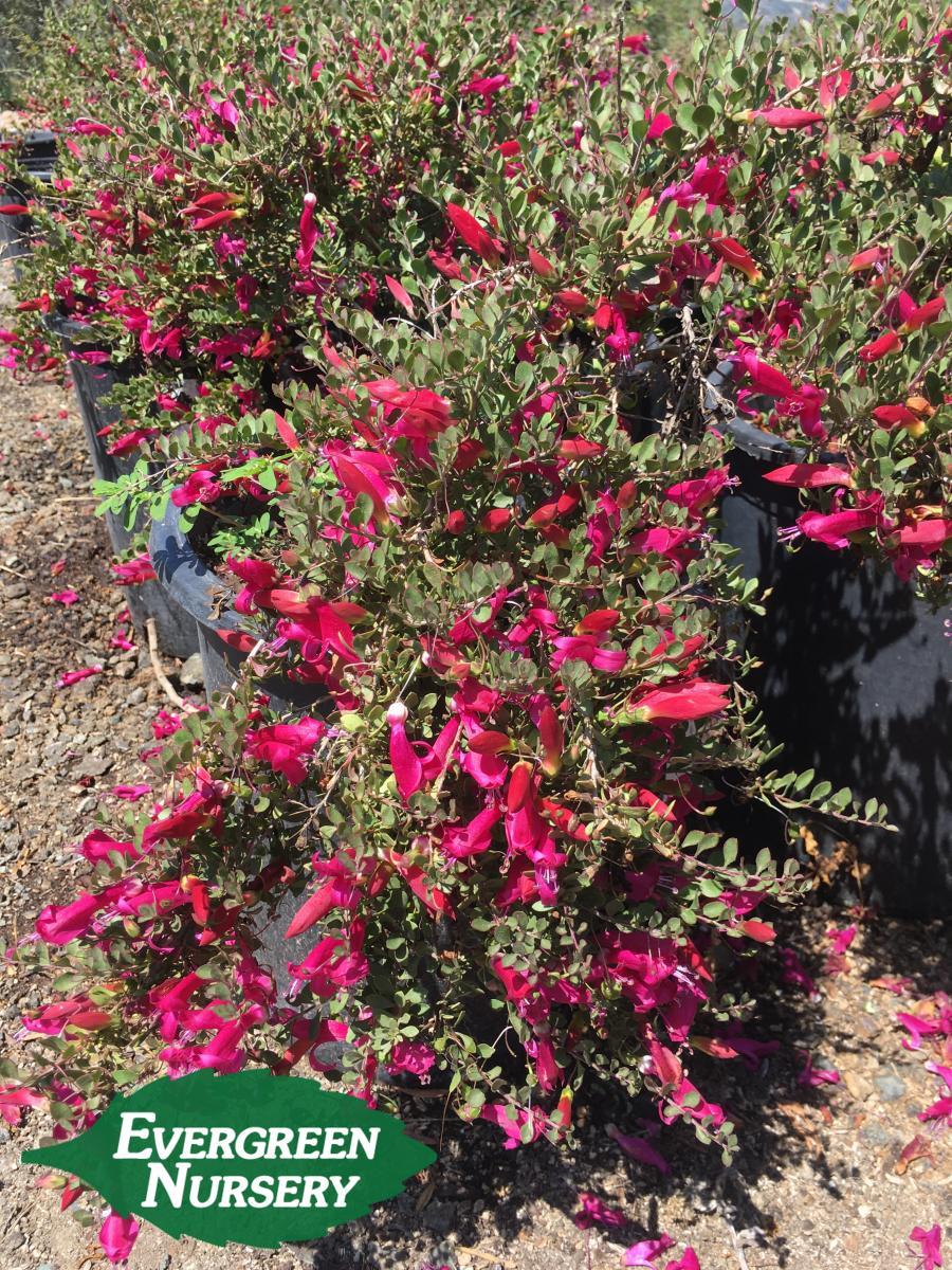 Eremophila Maculata Valentine Evergreen Nursery