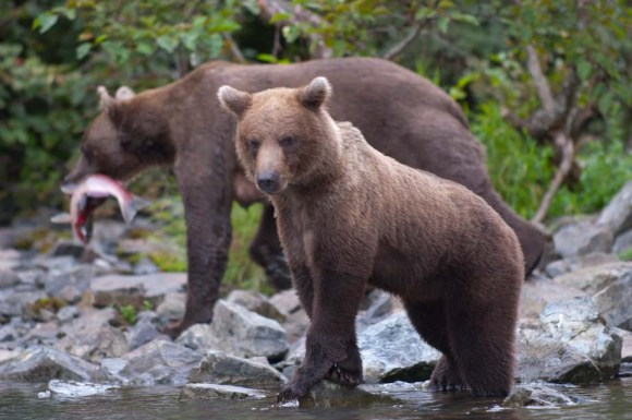 Alaskan Brown Bear female with cub