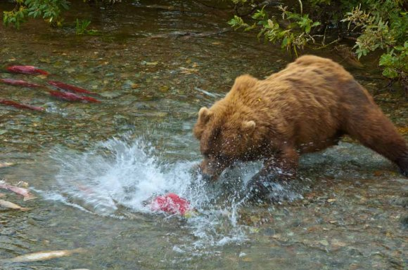 Alaskan Brown Bear catches her dinner