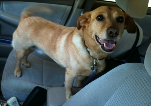 traveling with your dog: photo of my dog in the car