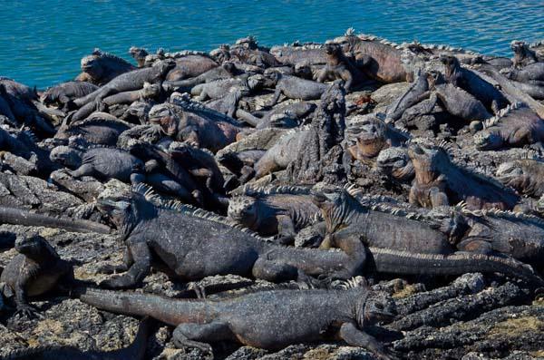 Hundreds of Galapagos marine iguanas