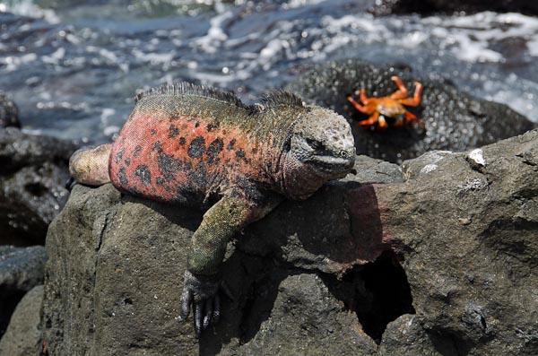 galapagos-marine-iguanas-floreana-red-green