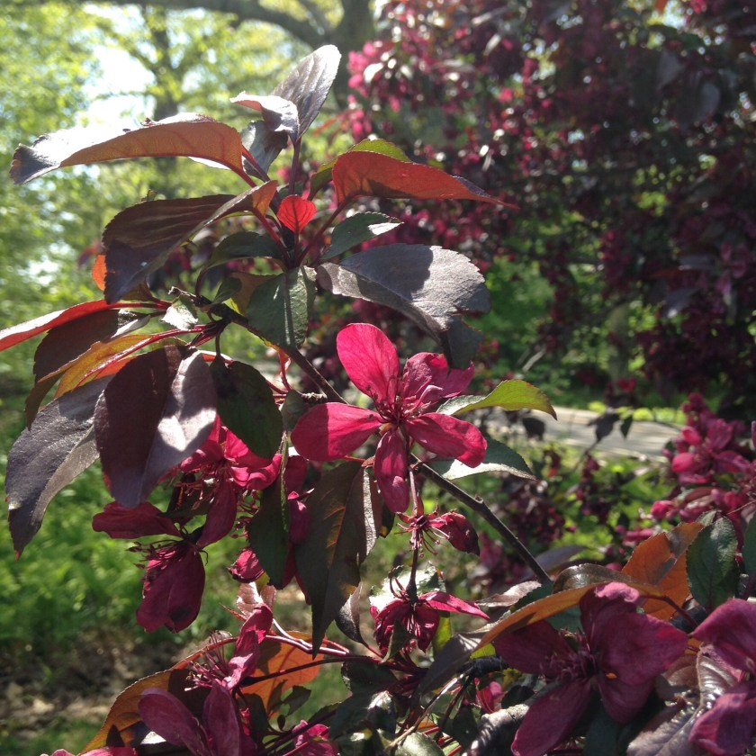 Darker blossoms on a crab apple tree.