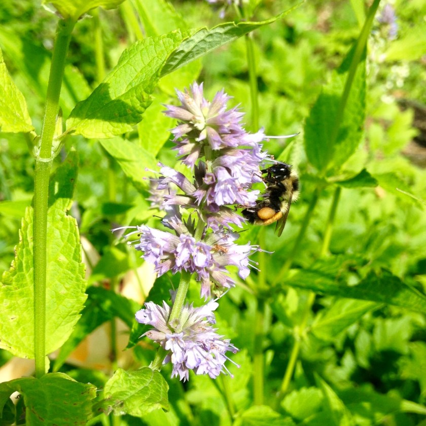Big bee enjoying some anise hyssop.
