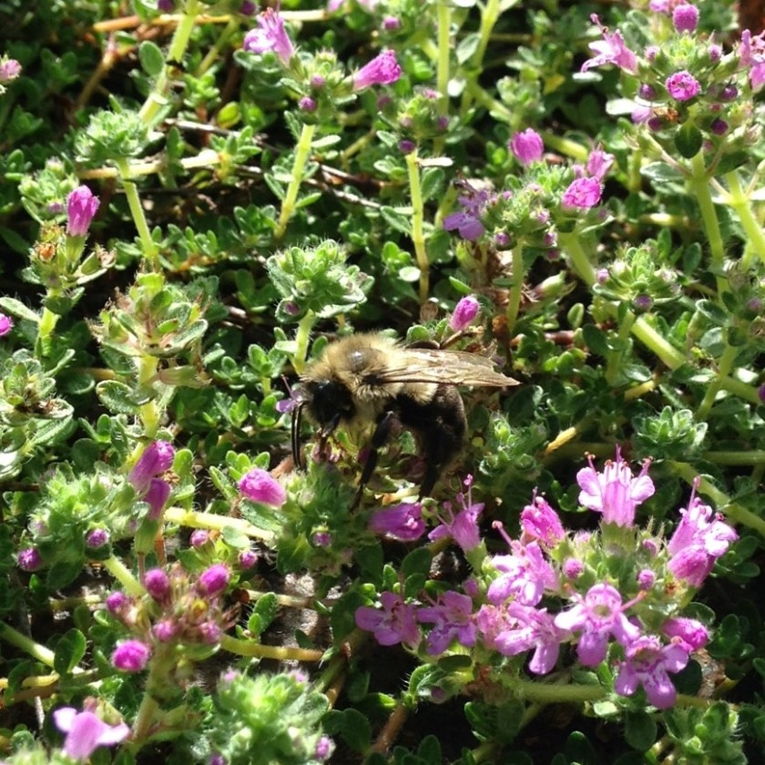Thyme blooming providing food for bees!