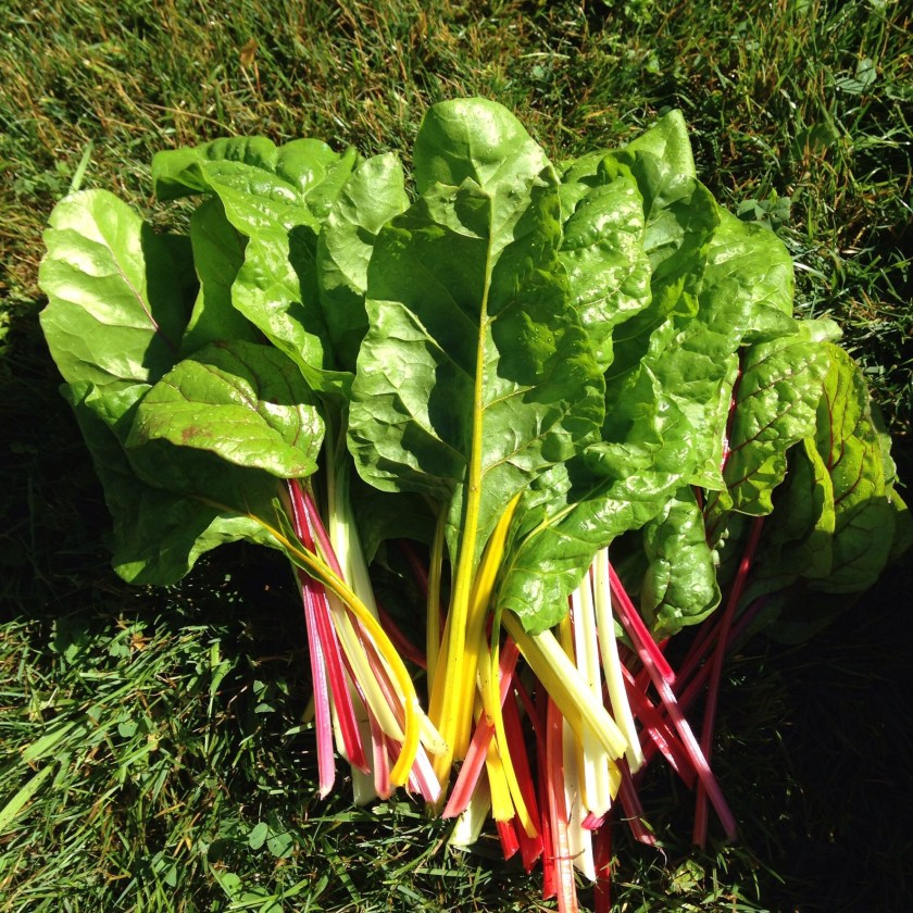 Harvesting chard is easy!