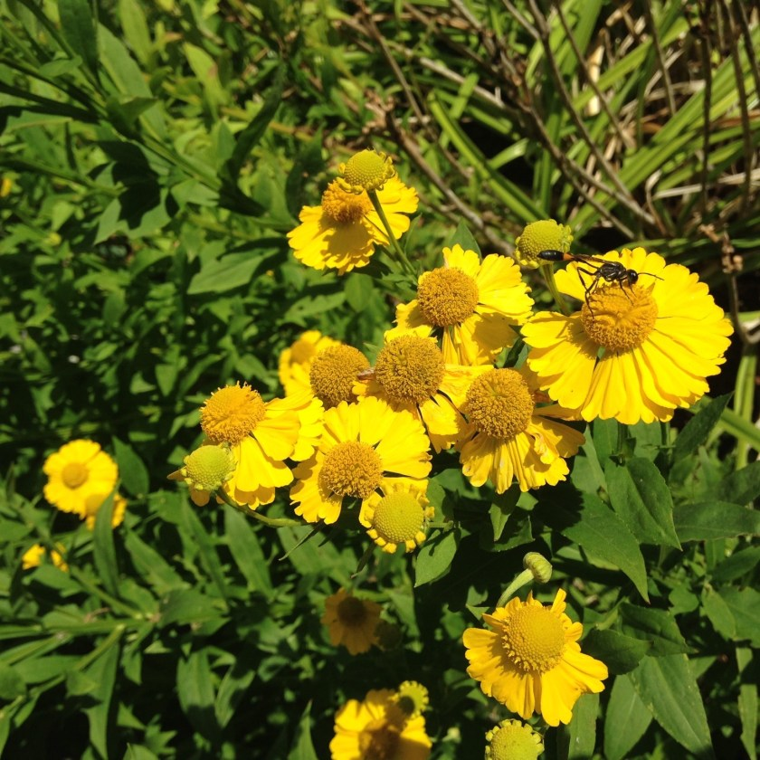 Helenium, a vibrant fall bloomer!