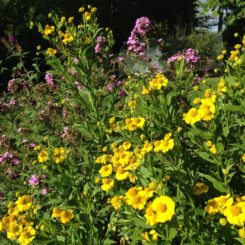 Helenium with tall phlox!