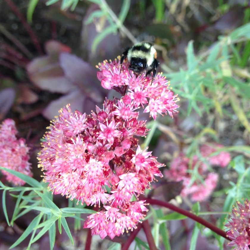 Dark red sedum attracting the bees!