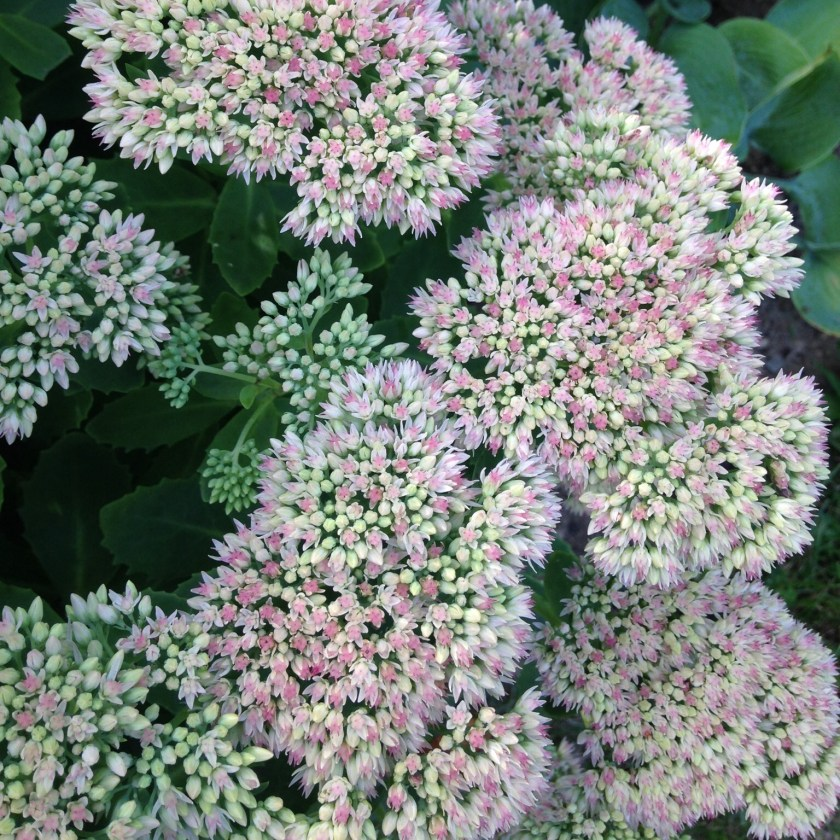 Sedum blooms in sturdy bunches.