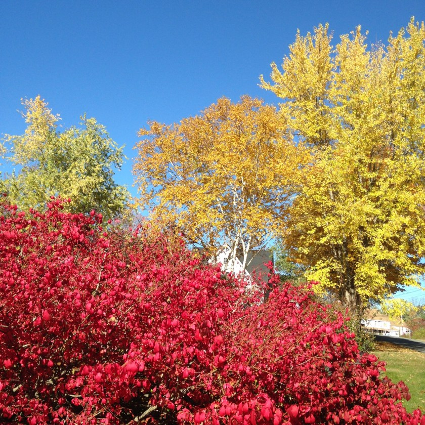 Burning bush and sugar maple.