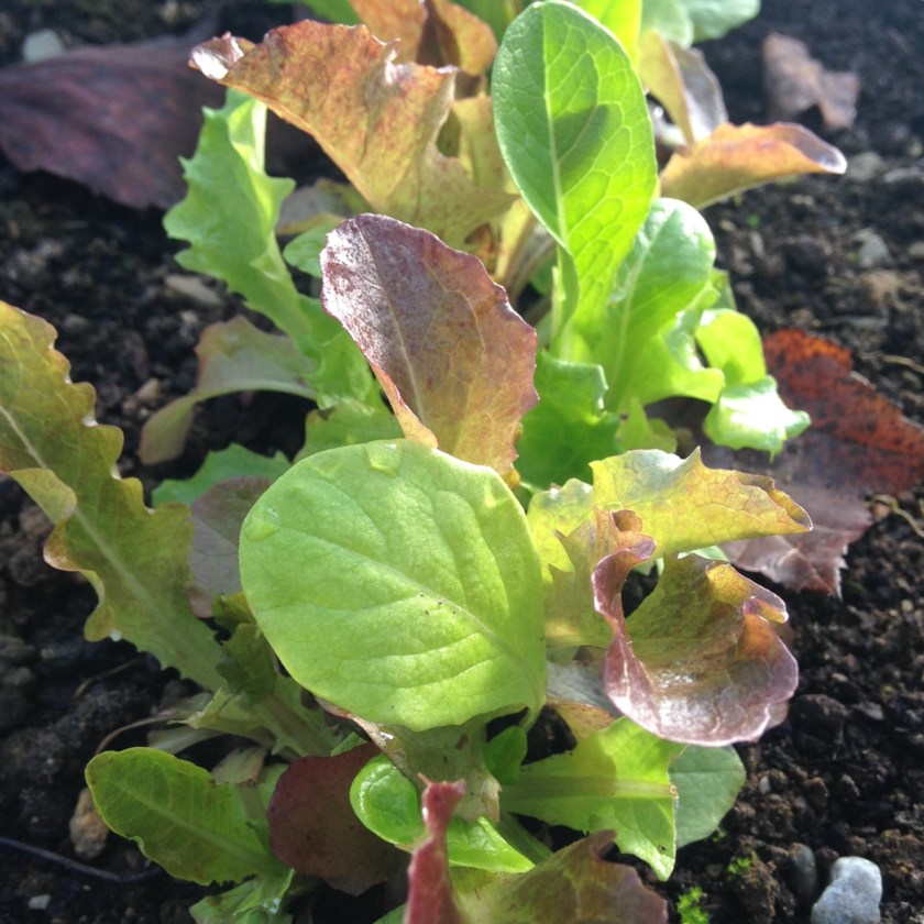 'Winter Lettuce Mix' woks really well!