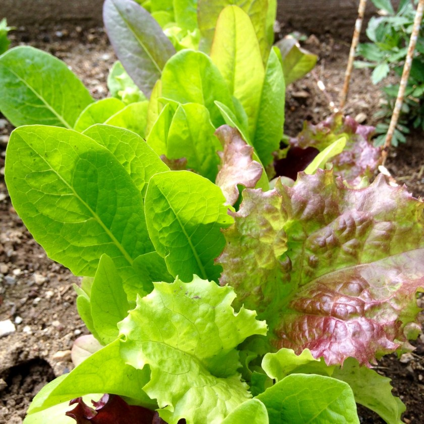 how to tell if leaf lettuce is ready to pick