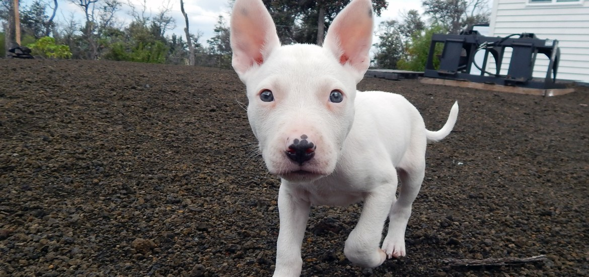 Puppy from Na'alehu - The Every Animal Project