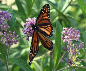 Monarch Butterfly - The Every Animal Project