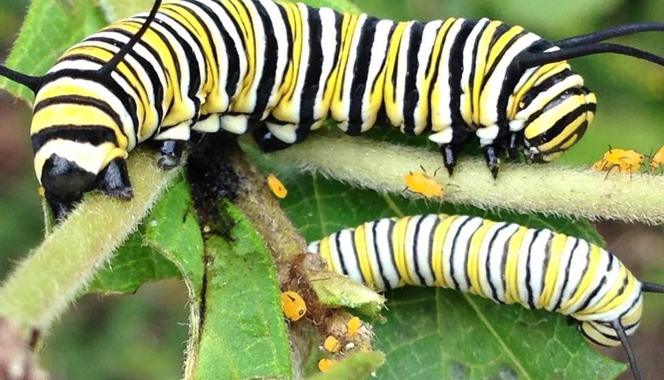 Monarch Caterpillars - The Every Animal Project