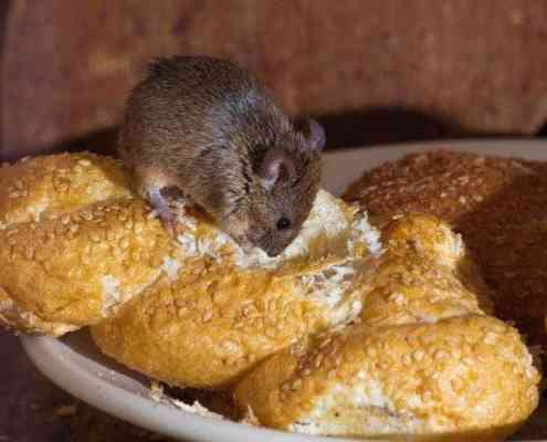 mouse-eating-bread
