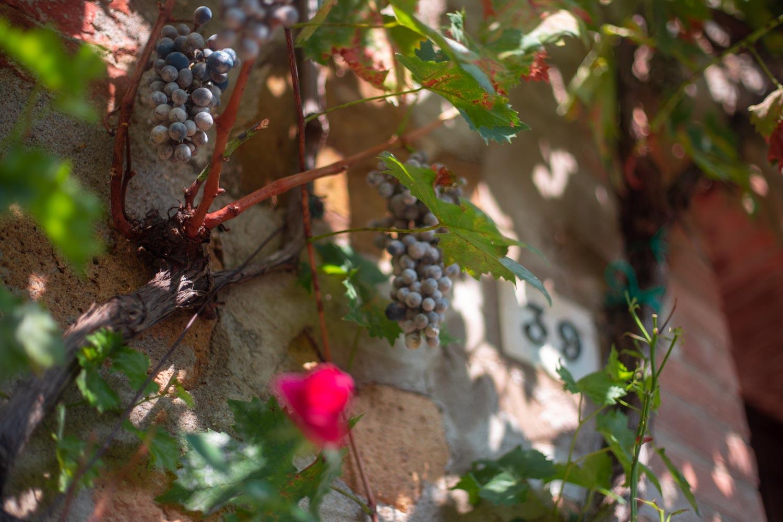 monticchiello uva
