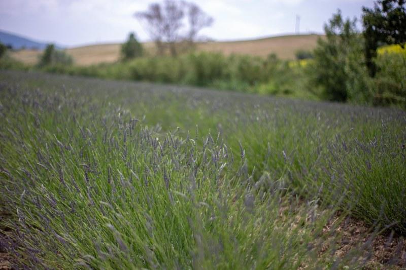 flora e i campi di lavanda