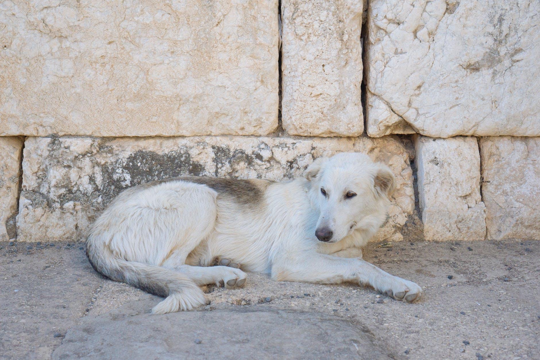 short coated white dog lying on concrete ground