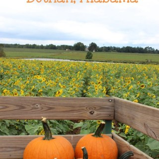 Looking for the best pumpkin patch near Northwest Florida? Check out Alpin Farms, Dothan Alabama! | EverydayMadeFresh.com