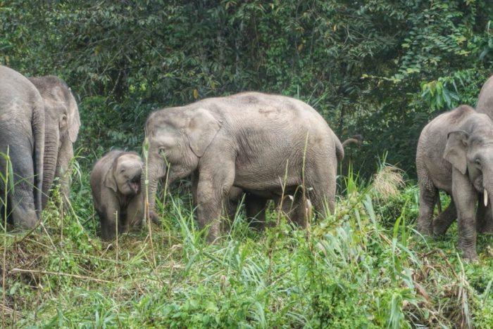kinabatangan-sabah-borneo-pygmy-elephants