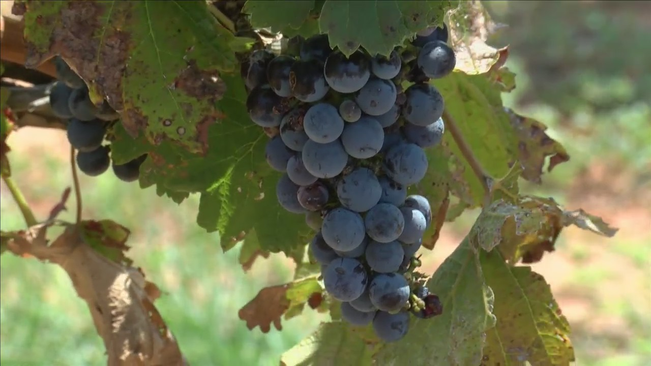 two herbicides used on cotton fields can impact vineyards
