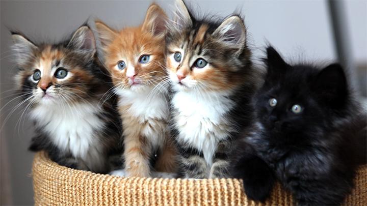 Kittens in a Basket - 720