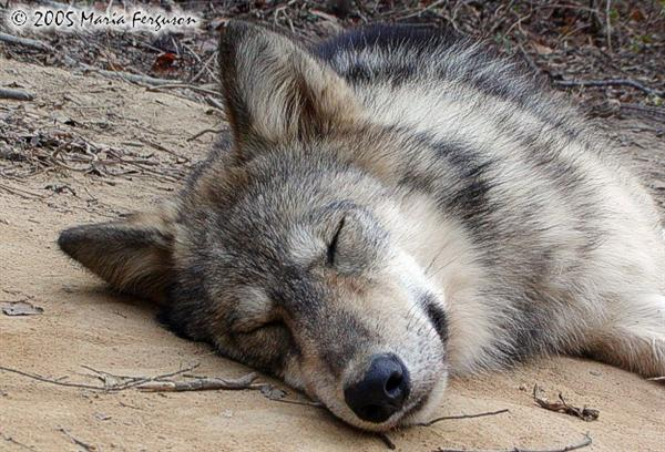 Snoring Wolf Picture